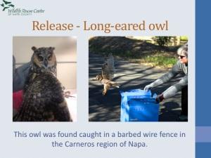 Dedicated volunteer Carol releasing a Long-eared Owl!