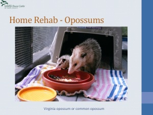 An opossum family Janice helped to survive!