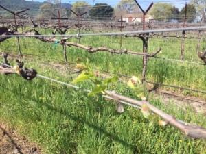 Chardonnay Budbreak! Spring is here...